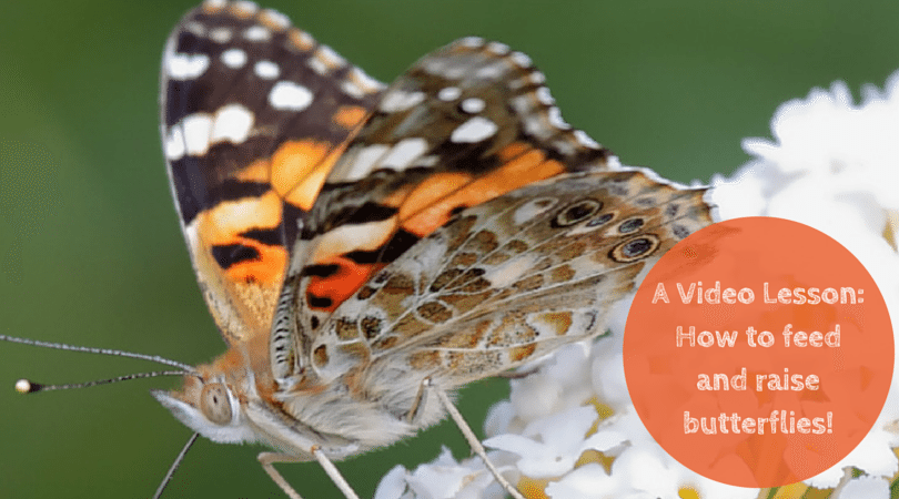 How to Feed, Raise, and Care for Butterflies: A Video Lesson
